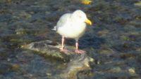 gull eat.jpg